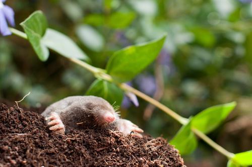 Krety – jak poradzić sobie z tymi szkodnikami ogrodów?